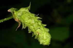 neomexicanus-hop